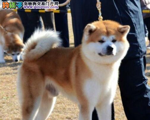 出售纯种日本秋田犬柴犬都有疫苗已做