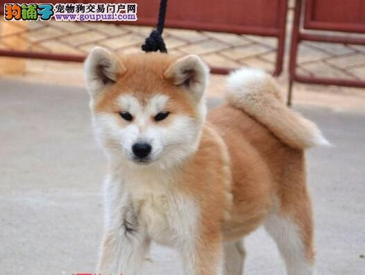 合肥狗场培育多只日系秋田犬出售 超低价格超高品质