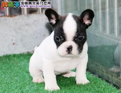 玉树州实体店低价促销赛级法国斗牛犬幼犬欢迎您的指导