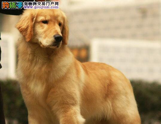 出售品相好的广州金毛犬 终身质保保证身体健康