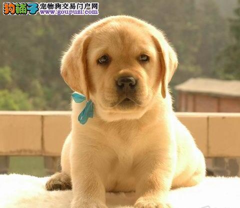 顶尖信誉犬舍转让拉布拉多犬 杭州市内可送可视频