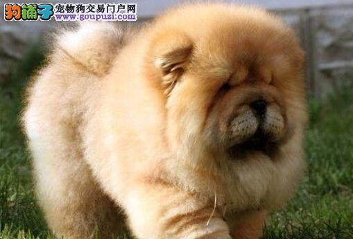 自贡自家狗场繁殖直销松狮幼犬品质血统售后均有保障