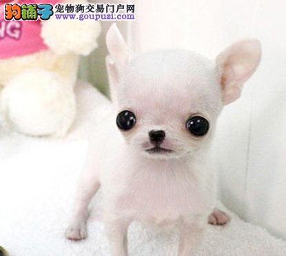 实体店低价促销赛级吉娃娃幼犬签订终身纯种健康协议
