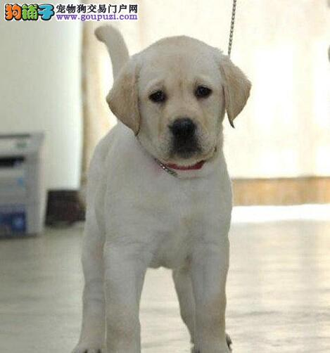 自家犬舍转让西宁拉布拉多犬公母都有包养活
