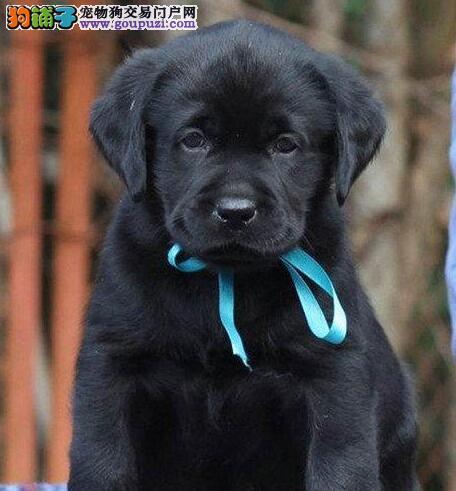 出售疫苗驱虫齐全的杭州拉布拉多犬 建议您上门选购