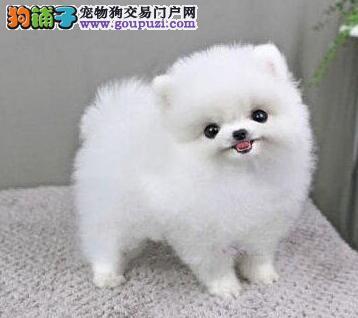 西宁自家繁殖纯种博美犬热卖中球形体保证健康