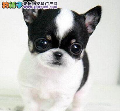 湖州吉娃娃狗狗出售中,纯种;体形小,苹果头大眼睛
