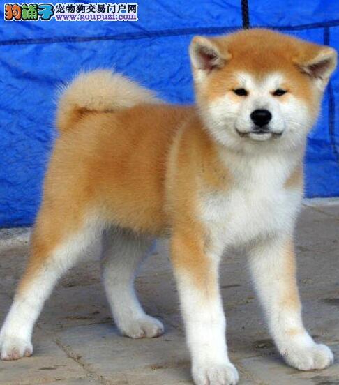 专业繁殖秋田犬 血统健康均有保障