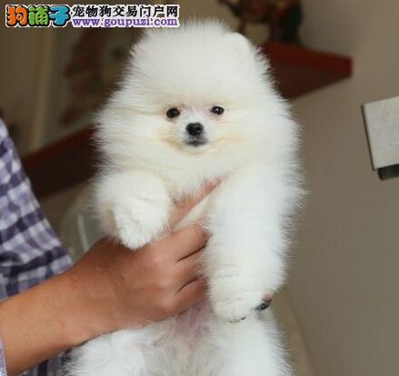 多种血系的厦门博美犬找新主人 求有爱心人士收留幼犬