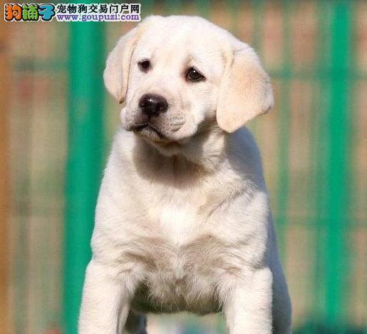 纯种拉不拉多幼犬出售