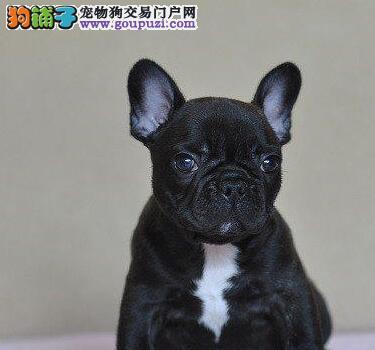 自家繁殖的纯种法国斗牛犬找主人价格美丽品质优良