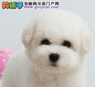 自家狗场直销上海比熊犬品相好质量有保证