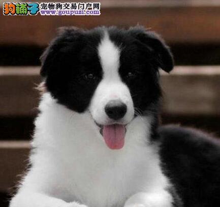 家养纯种边境牧羊犬转让秦皇岛市区可上门看狗
