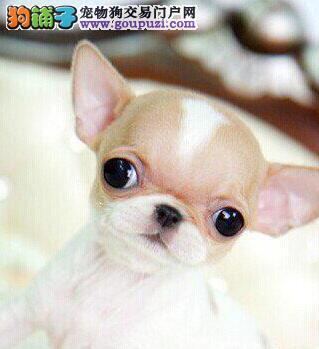 吉娃娃幼犬出售哪里出售苹果头吉娃娃包纯种包健康