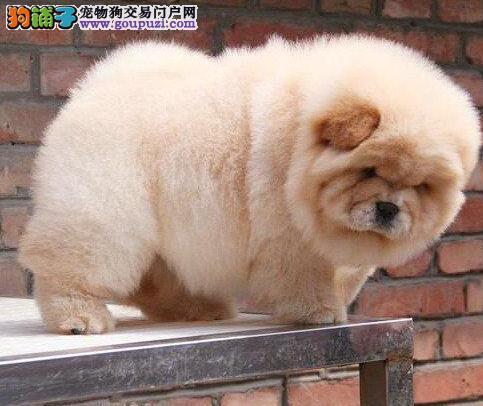 黄白色松狮 多只挑选 可当场测试犬瘟细小