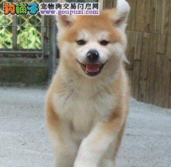 超高品质日系秋田犬西安知名犬舍直销 质量三包