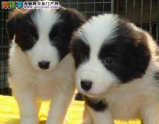 顶级优秀边境牧羊犬武汉犬舍出售 多只购买可优惠