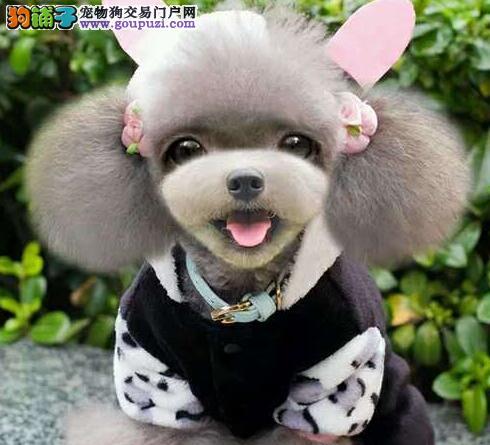 专业正规犬舍热卖优秀青岛泰迪犬均有三证保障