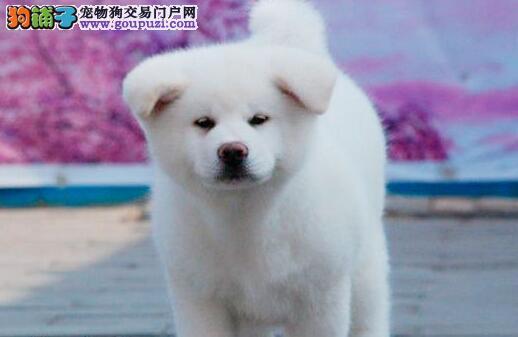 毛色血统纯正的海口秋田犬找新家 完善售后服务