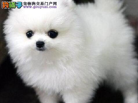 俊介血系完美品相的西宁博美犬待售中 请您放心选购