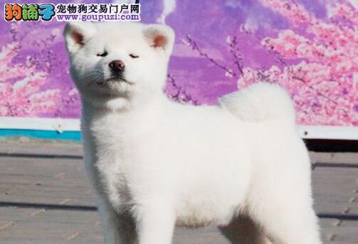 深圳哪里有卖日系秋田犬 深圳哪里有秋田犬出售