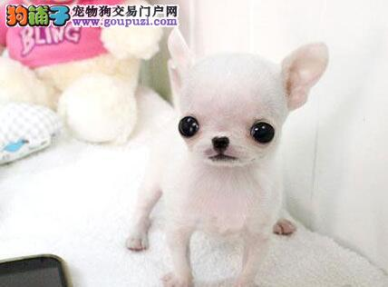 实体店低价促销赛级吉娃娃幼犬签署质保合同