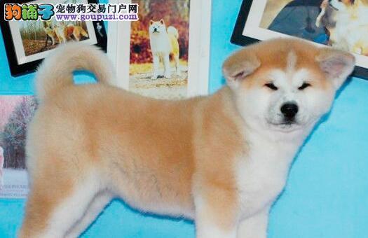 自繁自销纯种健康的杭州秋田犬 欢迎您莅临参观犬舍