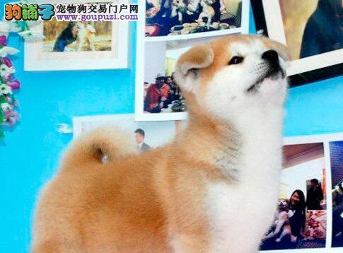 圣诞节特惠 纯种秋田幼犬郑州出售 血统纯正 忠诚温顺