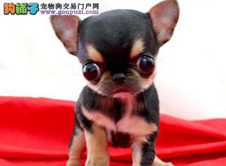 吉娃娃幼犬热销中 保证品质一流 专业信誉服务
