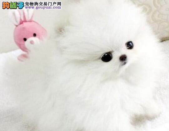 博美犬宝宝热销中,真实照片保纯保质,购买保障售后