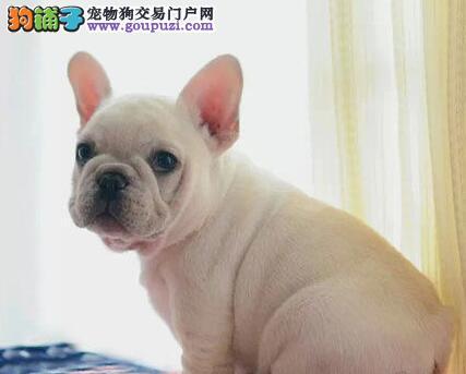 完美品相血统纯正天津法国斗牛犬出售签订协议包细小犬瘟热