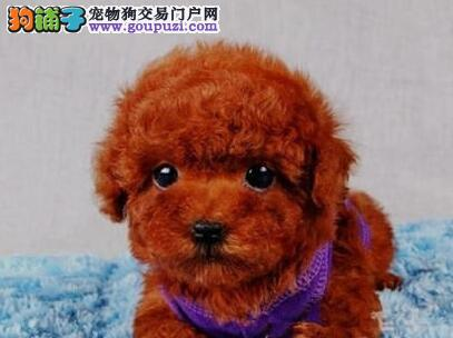 南昌实体狗场出售实物拍摄的泰迪犬 请大家放心选购