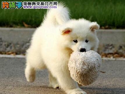 微笑天使萨摩耶幼犬火热出售中 三亚朋友上门选购