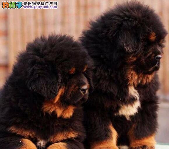 杭州獒园出售威武霸气的藏獒幼崽 大骨骼铁头包血系