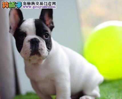 高品质短腿短尾的南昌斗牛犬出售中 爱狗人士优先选购