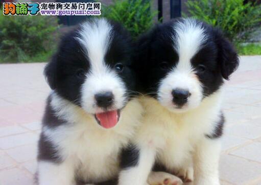 纯种优秀边境牧羊犬直销出售 来广州购买可享优惠
