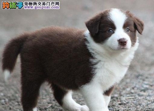 正规基地出售高品质江门边境牧羊犬可上门选购