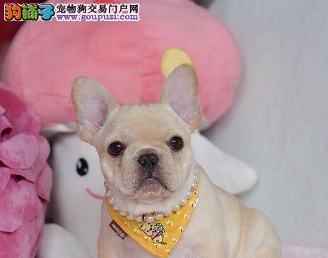 纯种健康的青岛斗牛犬低价出售 可视频挑选 保健康