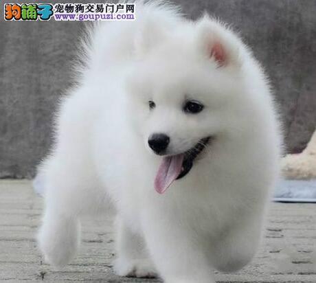 萨摩耶延安CKU认证犬舍自繁自销包养活送用品
