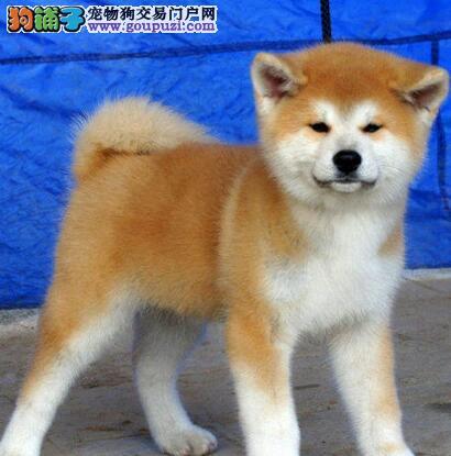 低价出售纯日系血统的大庆秋田犬 签订完善售后协议