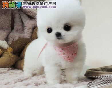 出售自家繁殖的血统纯正的桂林博美犬 签订购犬协议书