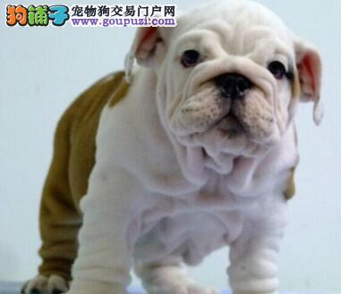 济南狗场出售CKU血统认证的斗牛犬 不健康包退换