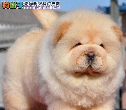 CKU犬舍认证出售高品质松狮全国质保全国送货