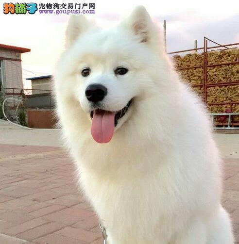 顶级优秀微笑天使萨摩耶渝中犬舍低价转让 已做好疫苗