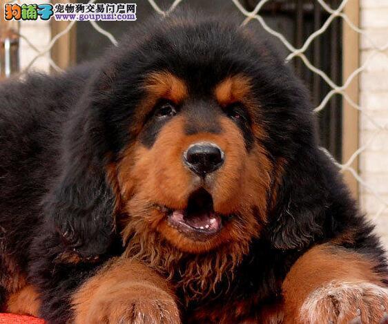 低价出售狮王血系长沙藏獒 公母齐全多只可供选择