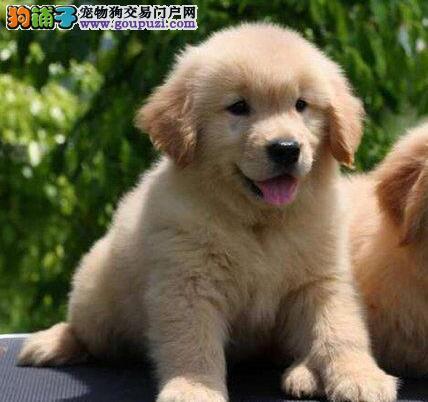 养殖基地促销价格出售大骨架金毛犬 可来广州当面看狗