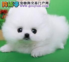纯种哈多利版长春博美犬特价出售 可赠送狗狗用品