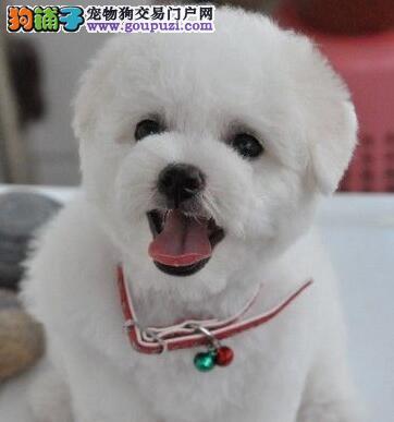 极品卷毛比熊犬长春犬舍热销 绝对保证狗狗身体健康