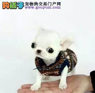 郑州转让迷你纯种大眼睛吉娃娃 保质量健康 极致可爱