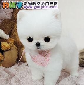 自家繁殖精品博美犬出售中杭州地区购买可送用品